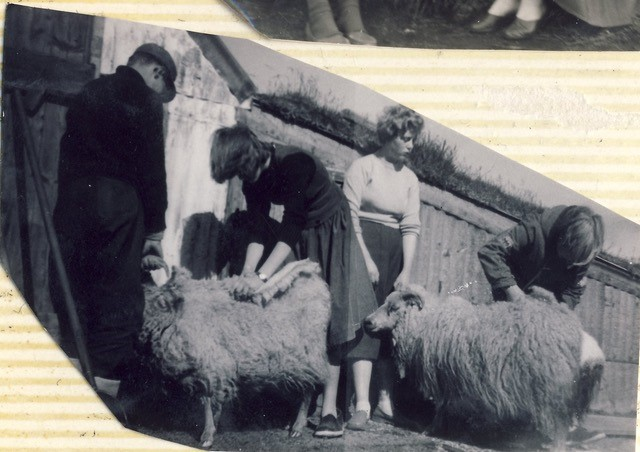 Shearing sheep in the late 1950s in Iceland
